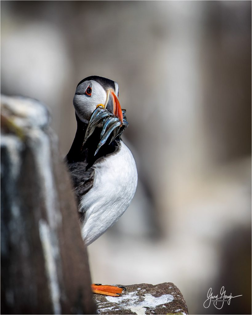 Wildlife Photography Tips - The PUFFIN